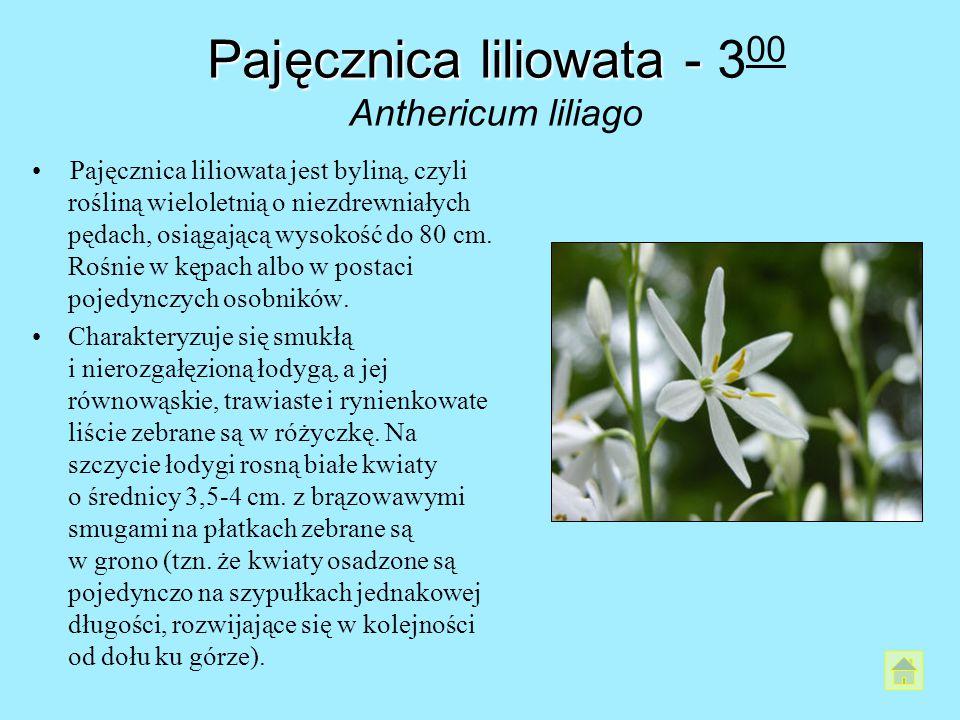 Pajęcznica liliowata - 300 Anthericum liliago