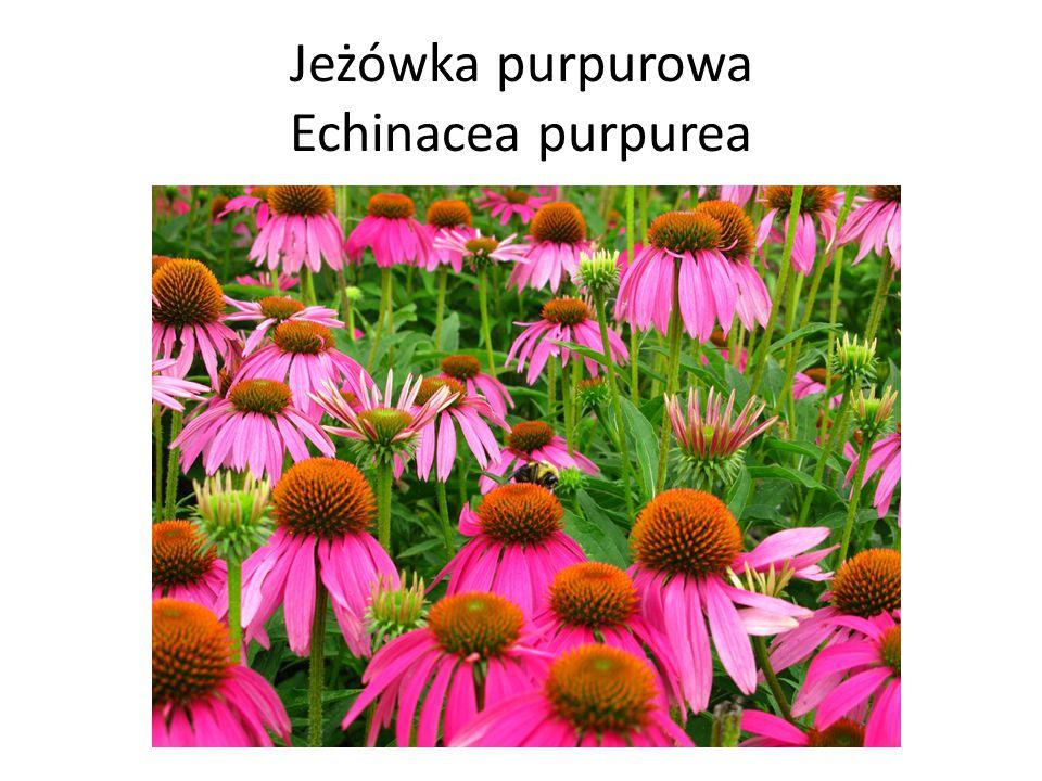Jeżówka purpurowa Echinacea purpurea