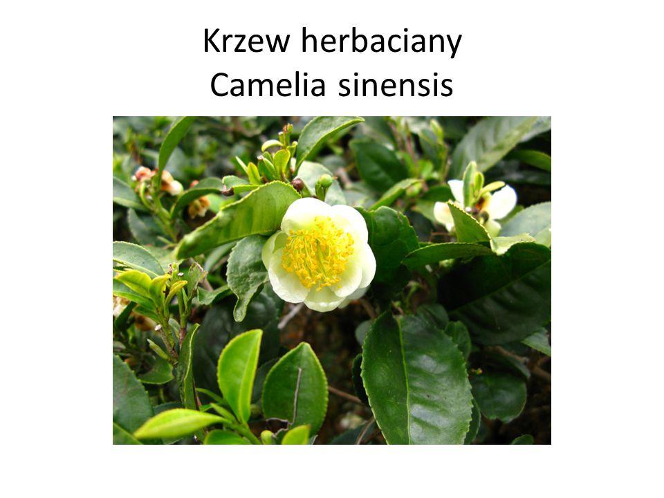 Krzew herbaciany Camelia sinensis