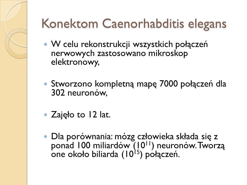 Konektom Caenorhabditis elegans