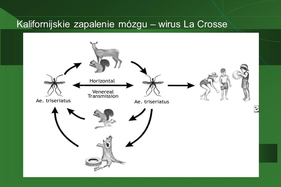 Kalifornijskie zapalenie mózgu – wirus La Crosse