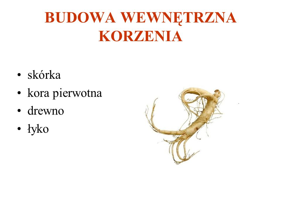 BUDOWA WEWNĘTRZNA KORZENIA