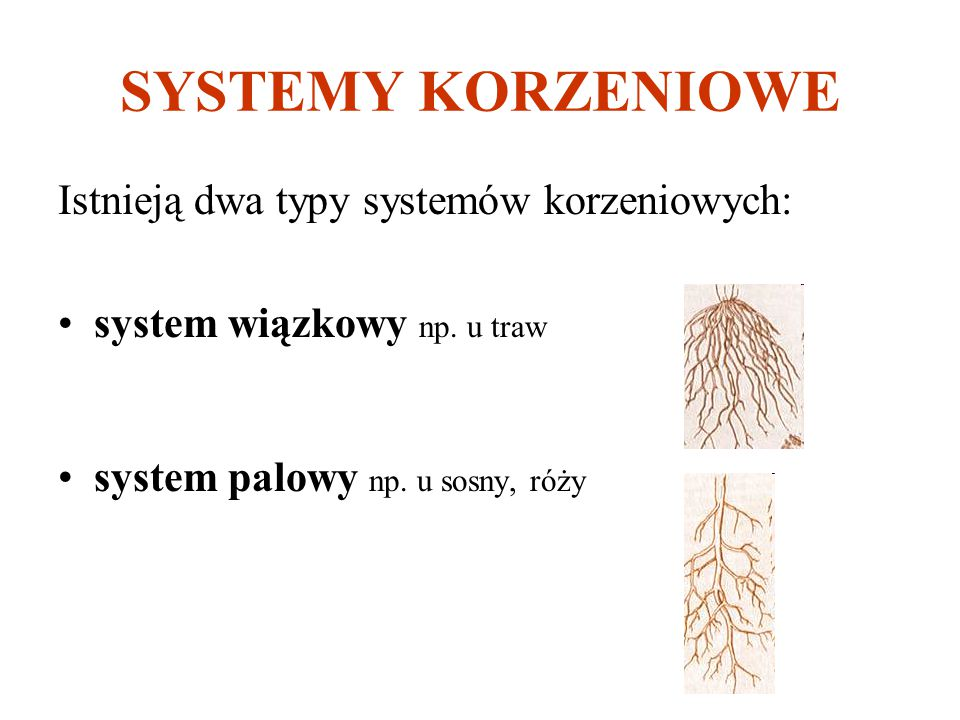 SYSTEMY KORZENIOWE Istnieją dwa typy systemów korzeniowych: