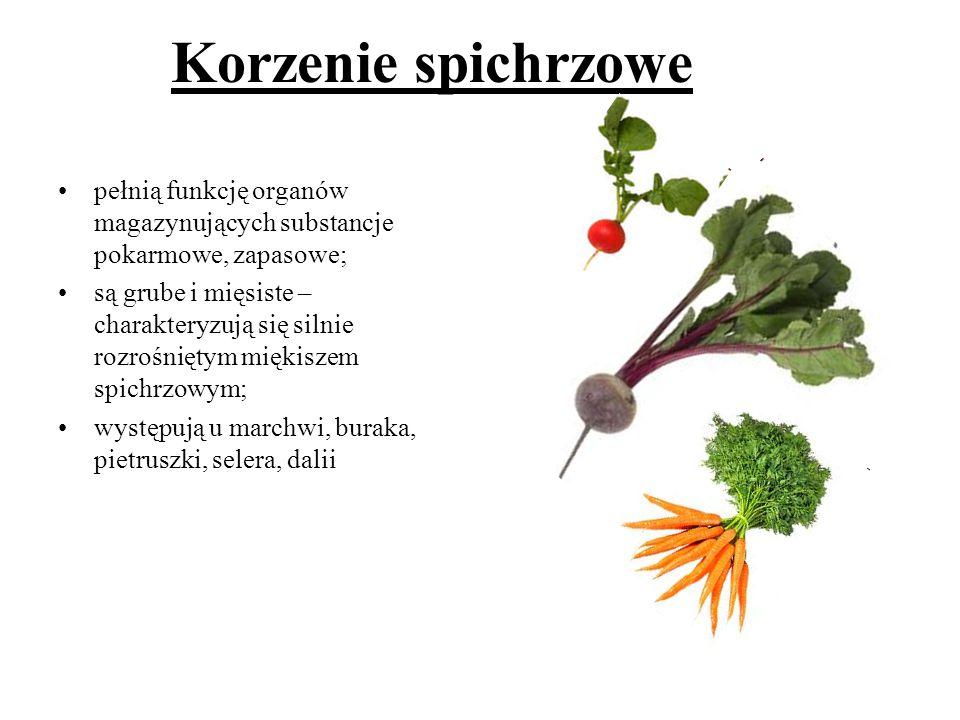 Korzenie spichrzowe pełnią funkcję organów magazynujących substancje pokarmowe, zapasowe;