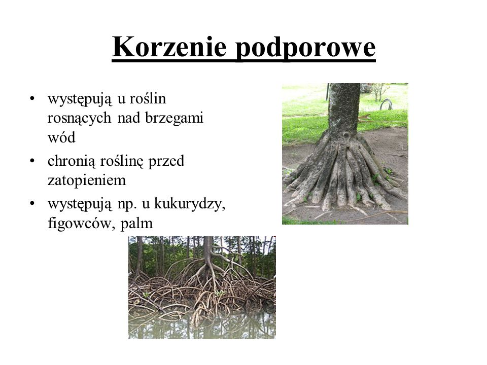 Korzenie podporowe występują u roślin rosnących nad brzegami wód