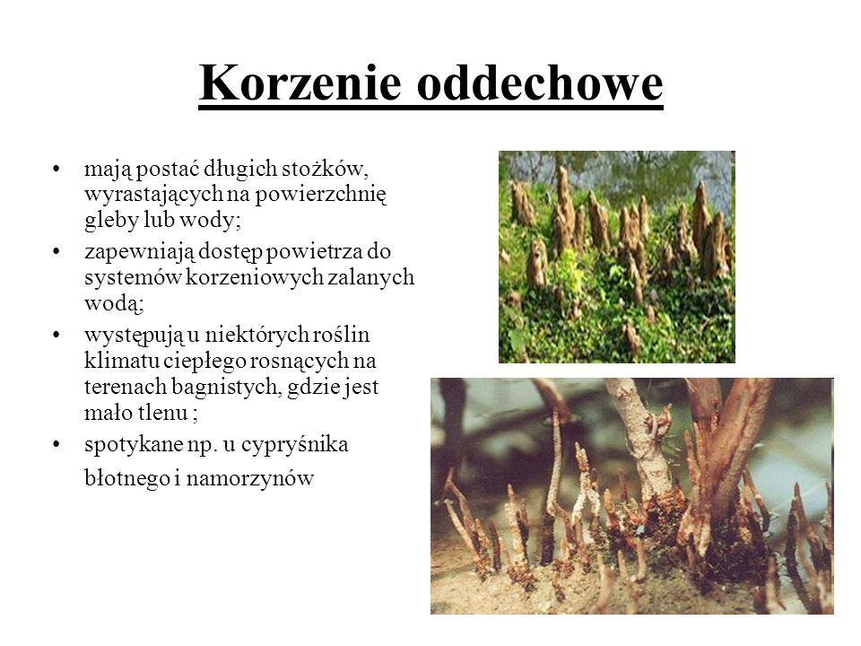 Korzenie oddechowe mają postać długich stożków, wyrastających na powierzchnię gleby lub wody;