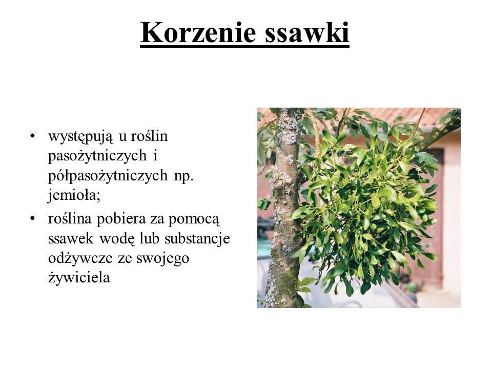 Korzenie ssawki występują u roślin pasożytniczych i półpasożytniczych np. jemioła;