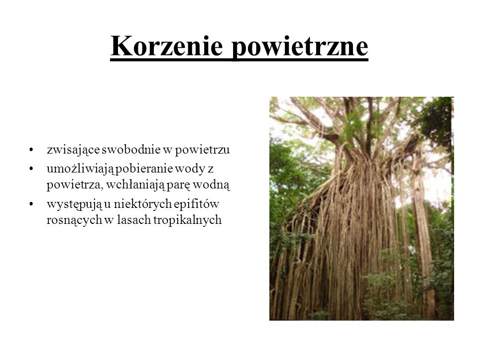 Korzenie powietrzne zwisające swobodnie w powietrzu