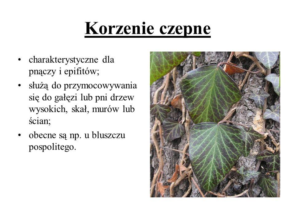 Korzenie czepne charakterystyczne dla pnączy i epifitów;
