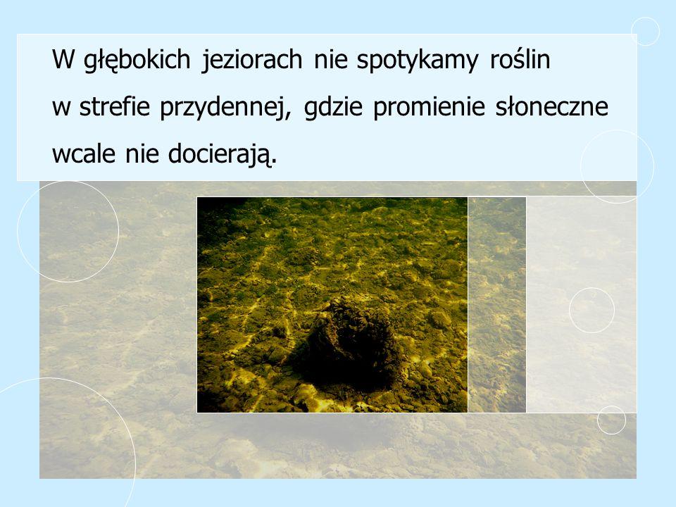 W głębokich jeziorach nie spotykamy roślin