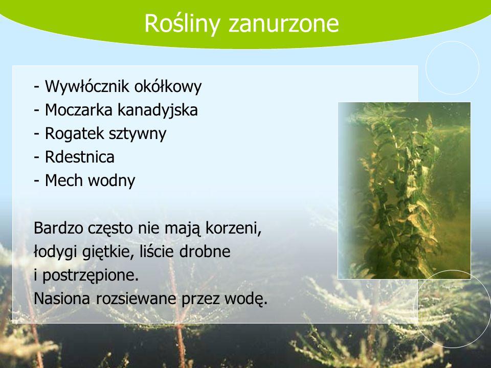 Rośliny zanurzone - Wywłócznik okółkowy - Moczarka kanadyjska