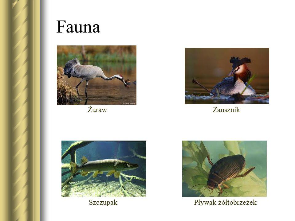 Fauna Żuraw Zausznik Szczupak Pływak żółtobrzeżek