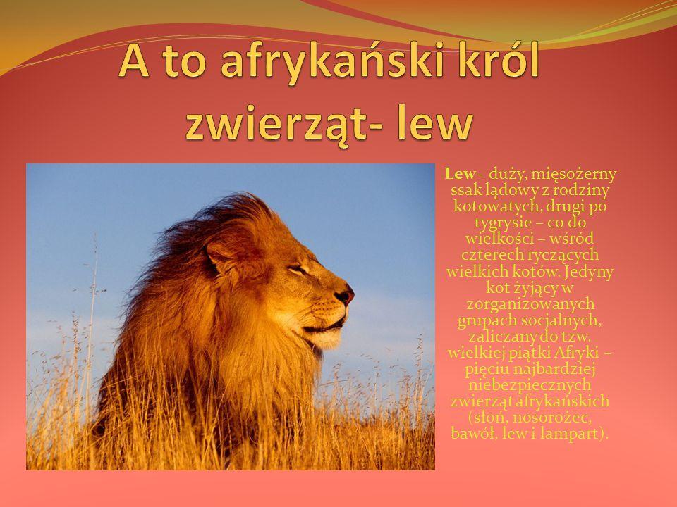 A to afrykański król zwierząt- lew