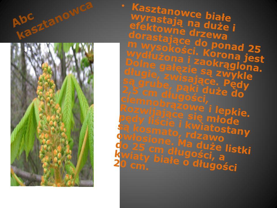 Abc kasztanowca …