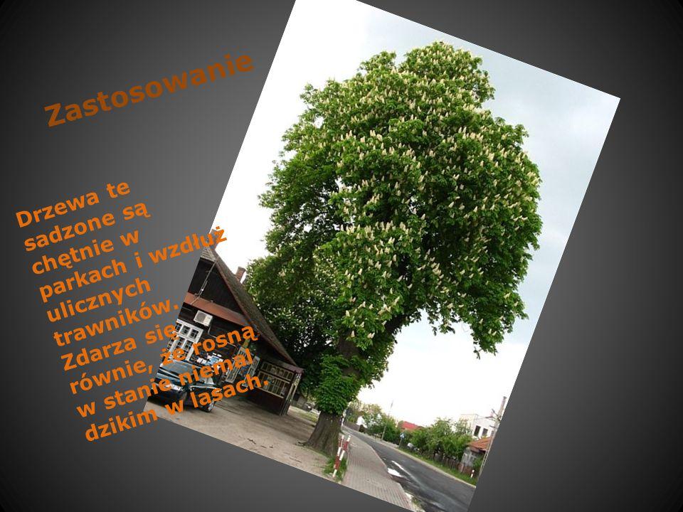 Zastosowanie Drzewa te sadzone są chętnie w parkach i wzdłuż ulicznych trawników.