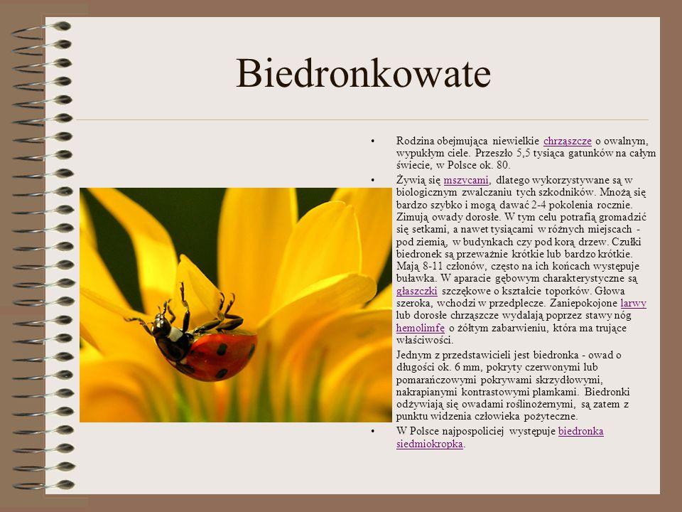 Biedronkowate Rodzina obejmująca niewielkie chrząszcze o owalnym, wypukłym ciele. Przeszło 5,5 tysiąca gatunków na całym świecie, w Polsce ok. 80.