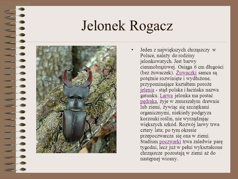Jelonek Rogacz