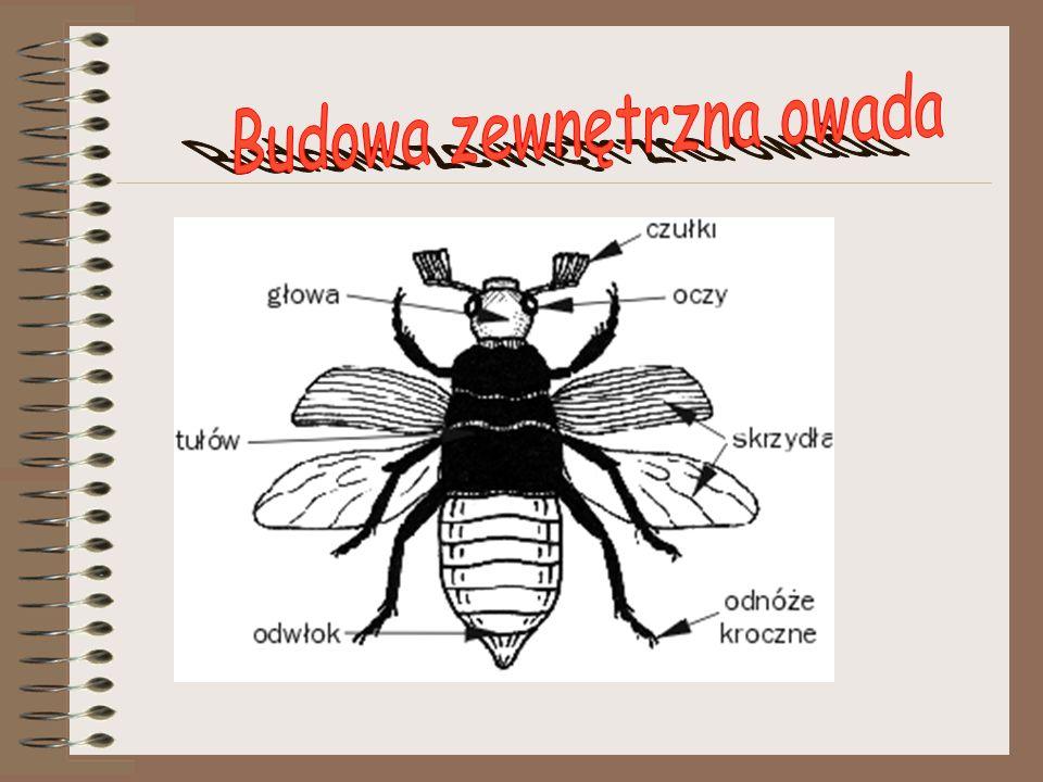 Budowa zewnętrzna owada