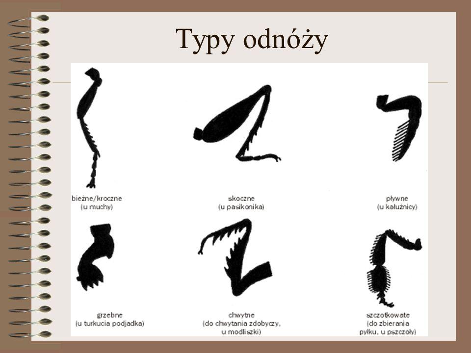 Typy odnóży