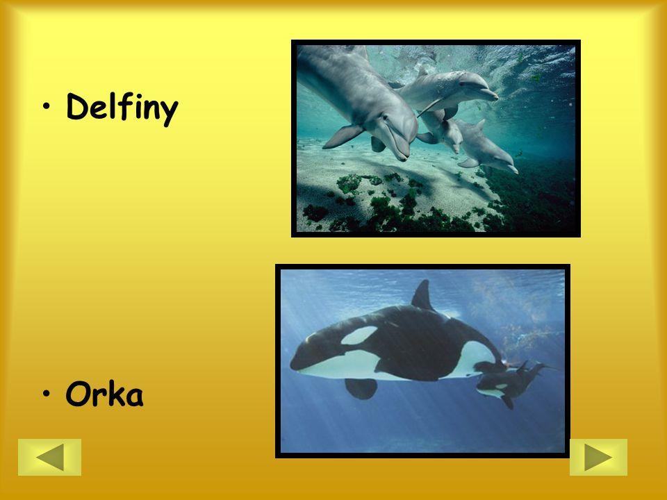 Delfiny Orka