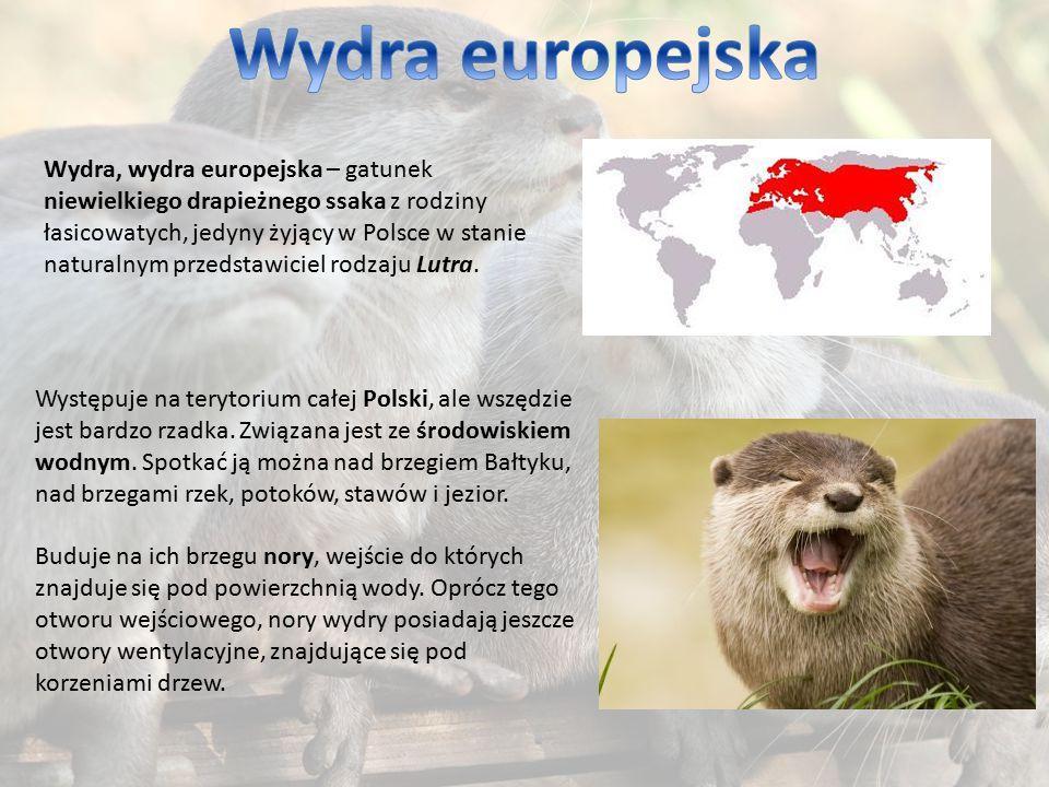Wydra europejska
