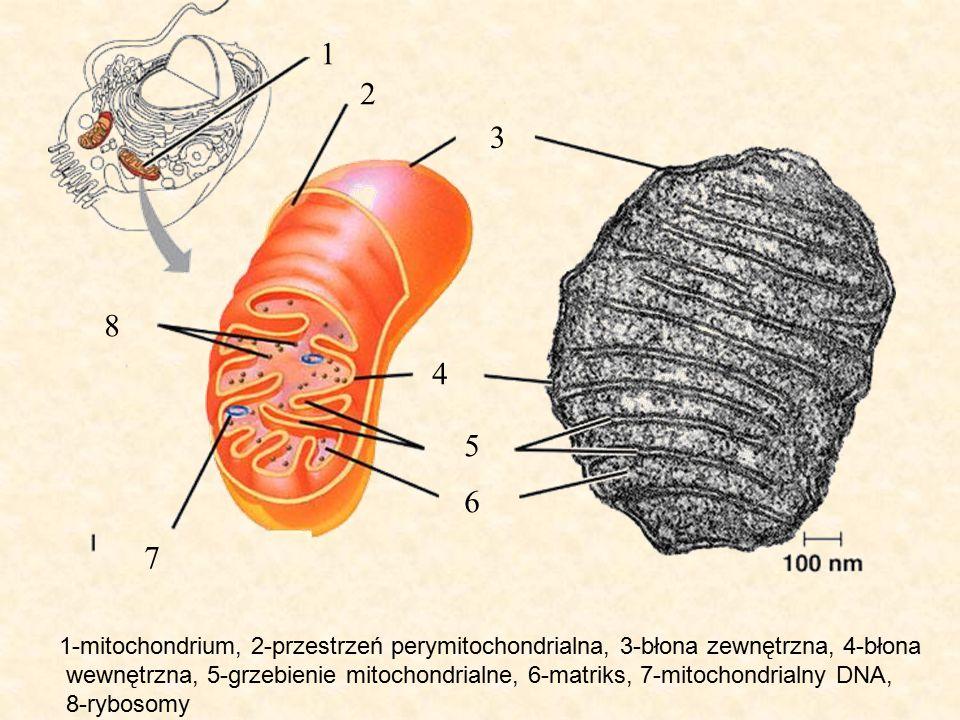 1 2. 3. 8. 4. 5. 6. 7. 1-mitochondrium, 2-przestrzeń perymitochondrialna, 3-błona zewnętrzna, 4-błona.
