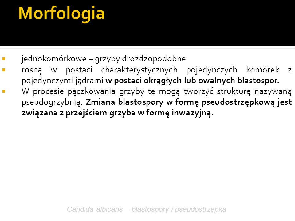 Morfologia jednokomórkowe – grzyby drożdżopodobne