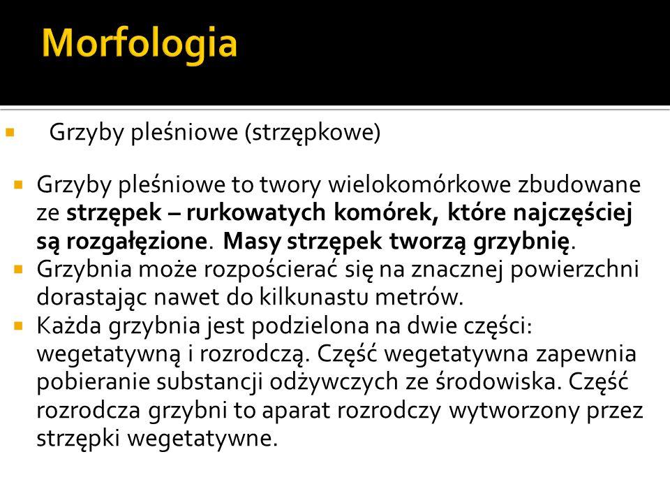 Morfologia Grzyby pleśniowe (strzępkowe)