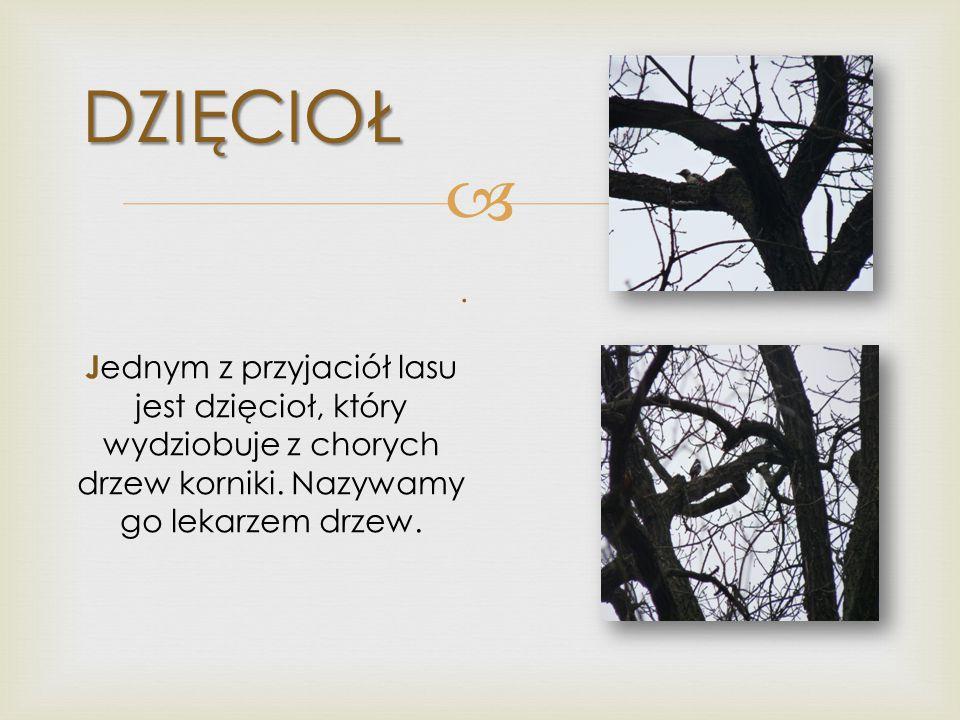 DZIĘCIOŁ Jednym z przyjaciół lasu jest dzięcioł, który wydziobuje z chorych drzew korniki. Nazywamy go lekarzem drzew.