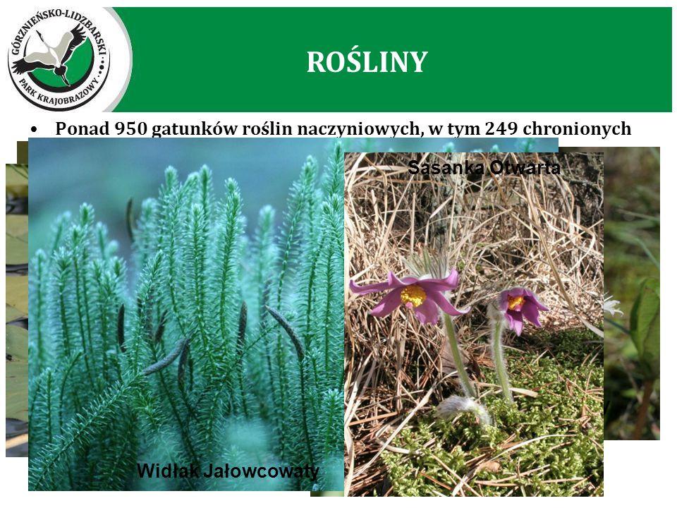 ROŚLINY Ponad 950 gatunków roślin naczyniowych, w tym 249 chronionych