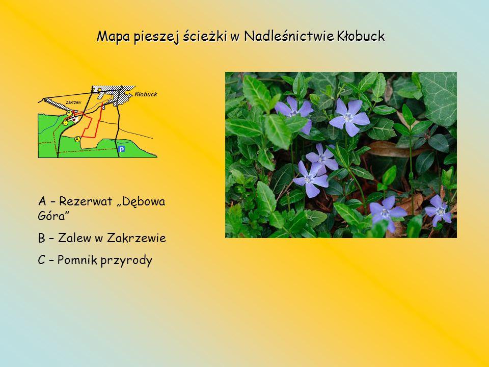 Mapa pieszej ścieżki w Nadleśnictwie Kłobuck