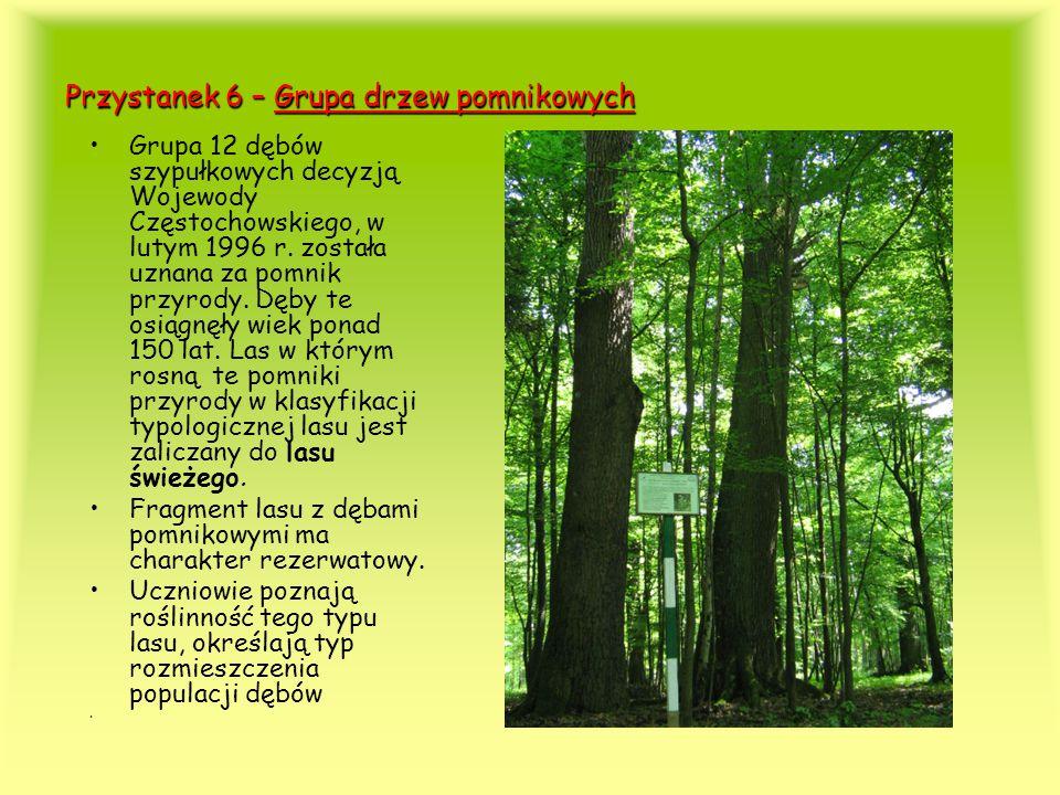 Przystanek 6 – Grupa drzew pomnikowych