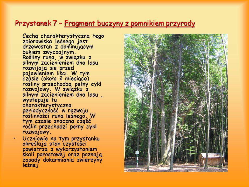 Przystanek 7 – Fragment buczyny z pomnikiem przyrody