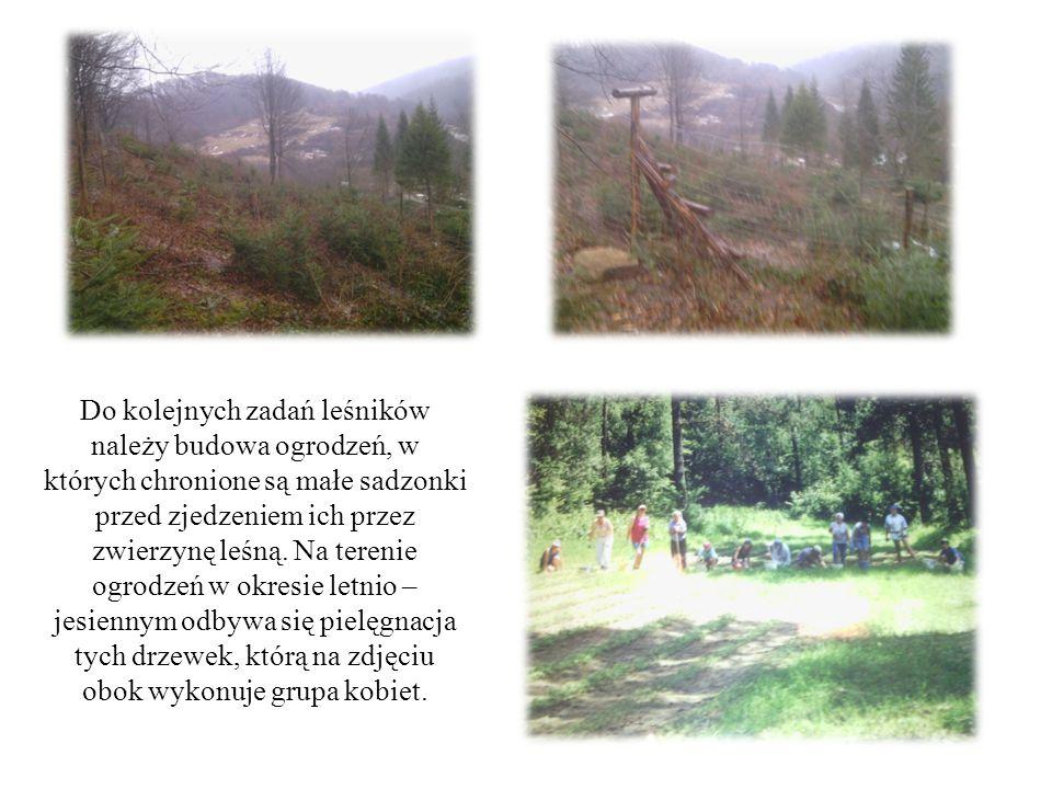 Do kolejnych zadań leśników należy budowa ogrodzeń, w których chronione są małe sadzonki przed zjedzeniem ich przez zwierzynę leśną.