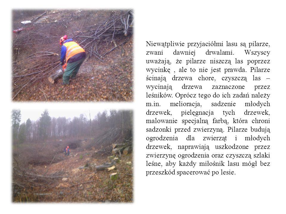 Niewątpliwie przyjaciółmi lasu są pilarze, zwani dawniej drwalami