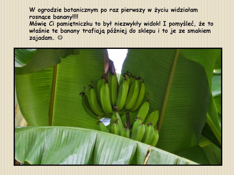 W ogrodzie botanicznym po raz pierwszy w życiu widziałam rosnące banany!!!!