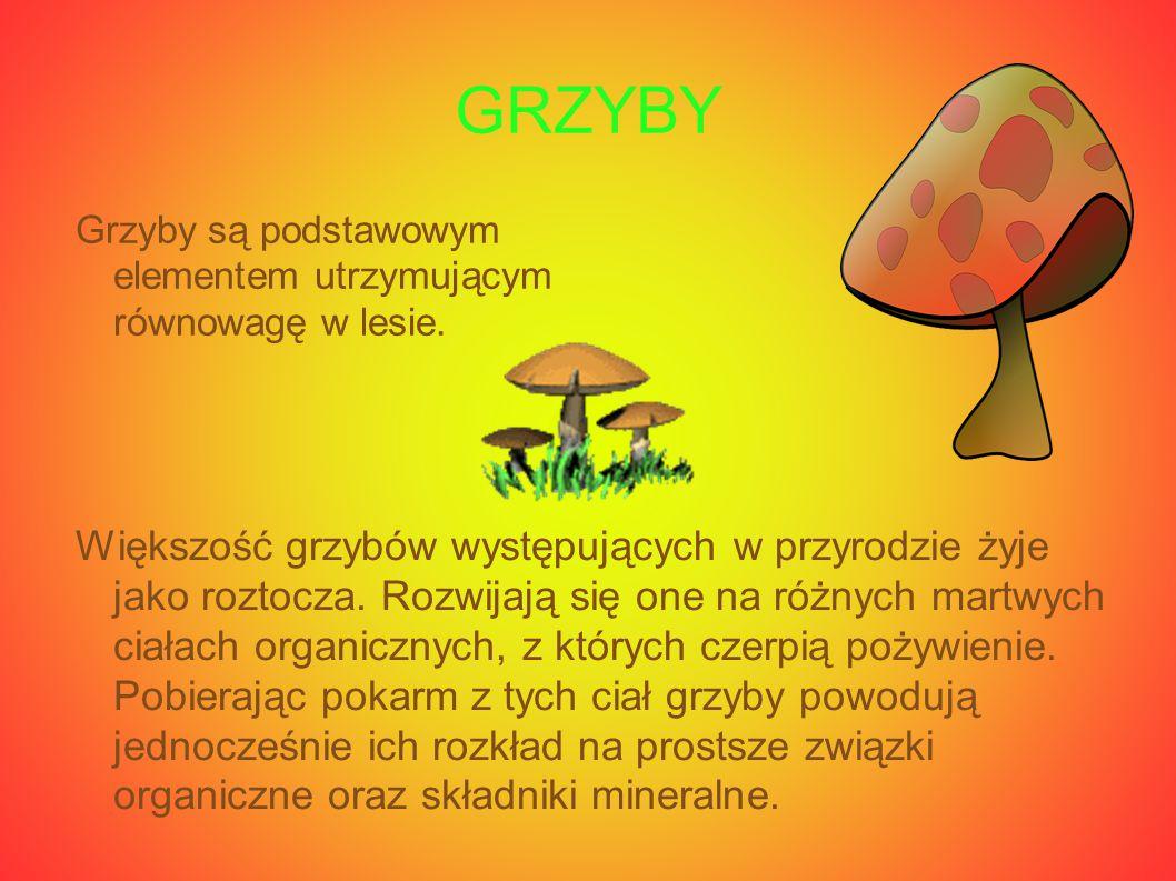 GRZYBY Grzyby są podstawowym elementem utrzymującym równowagę w lesie.
