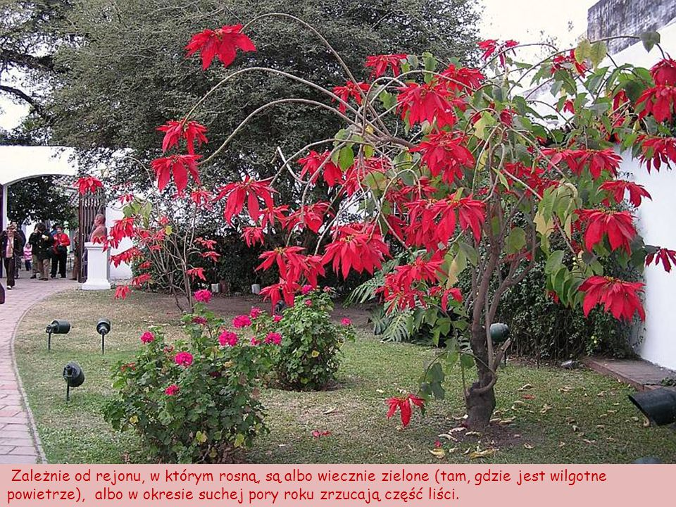 Zależnie od rejonu, w którym rosną, są albo wiecznie zielone (tam, gdzie jest wilgotne powietrze), albo w okresie suchej pory roku zrzucają część liści.