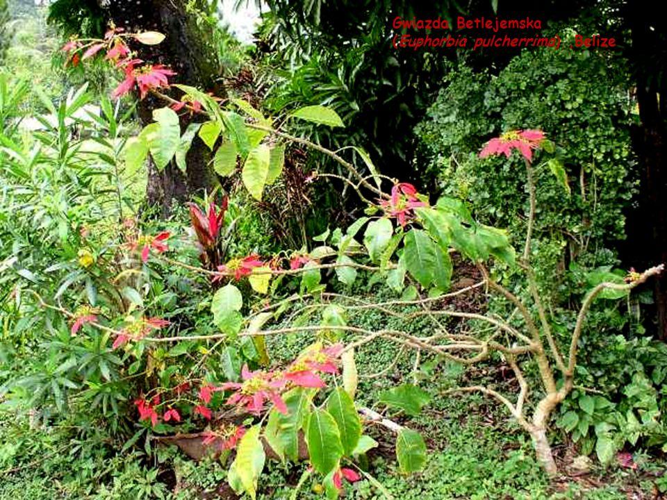 Gwiazda Betlejemska (Euphorbia pulcherrima) ,Belize