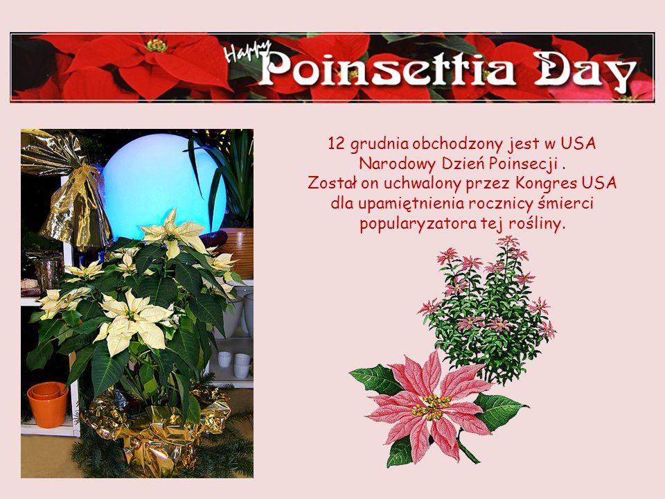 12 grudnia obchodzony jest w USA Narodowy Dzień Poinsecji .