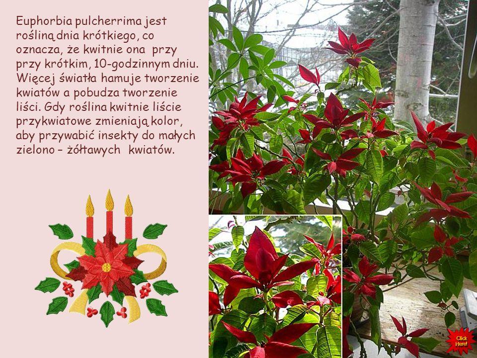 Euphorbia pulcherrima jest rośliną dnia krótkiego, co oznacza, że kwitnie ona przy przy krótkim, 10-godzinnym dniu.