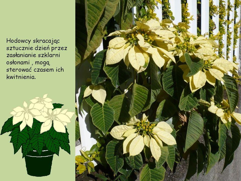 Hodowcy skracając sztucznie dzień przez zasłanianie szklarni osłonami , mogą sterować czasem ich kwitnienia.