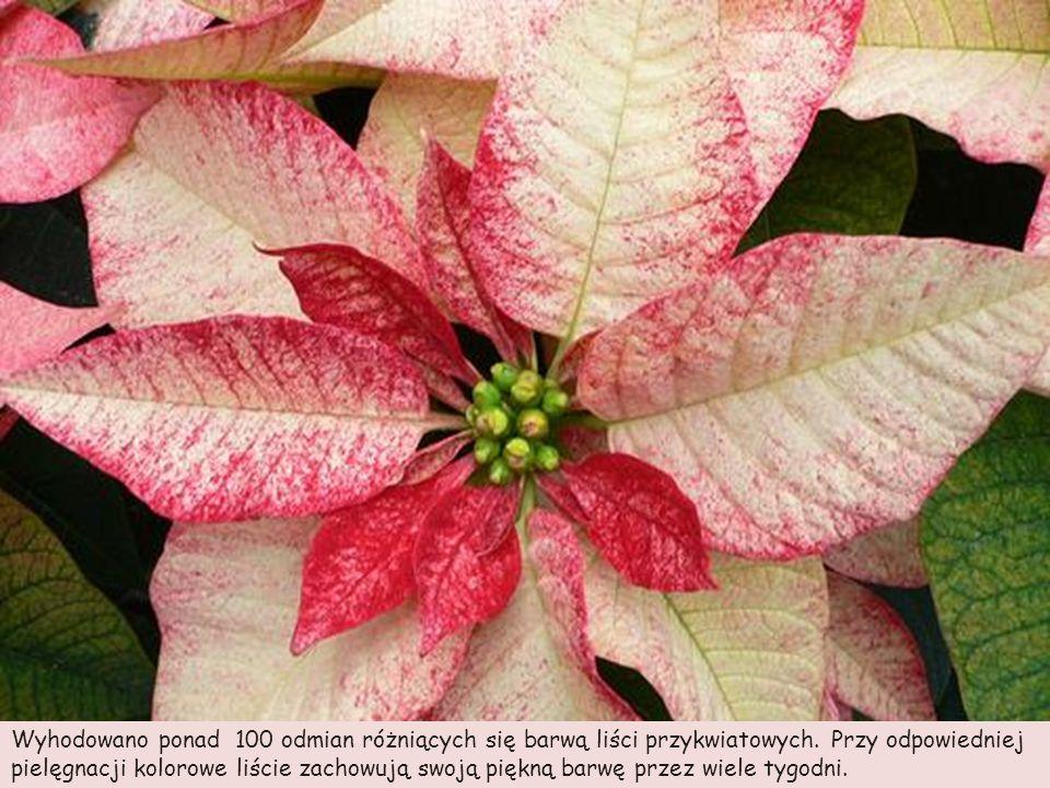 Wyhodowano ponad 100 odmian różniących się barwą liści przykwiatowych