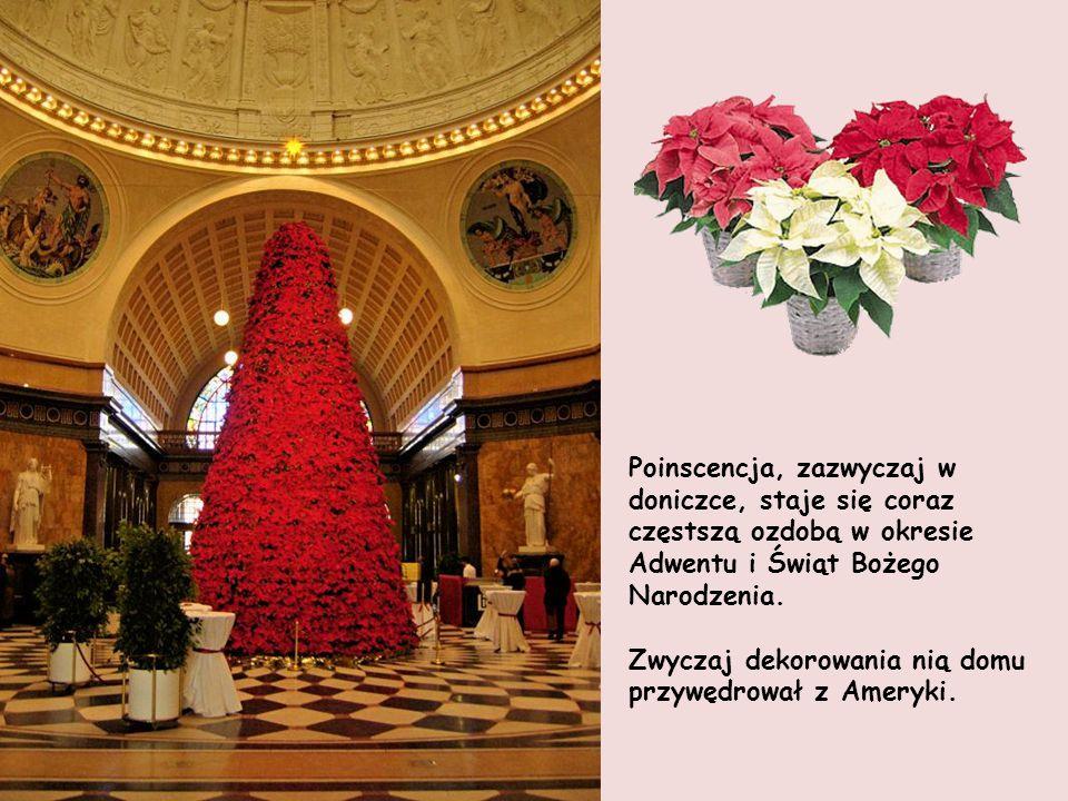 Poinscencja, zazwyczaj w doniczce, staje się coraz częstszą ozdobą w okresie Adwentu i Świąt Bożego Narodzenia.