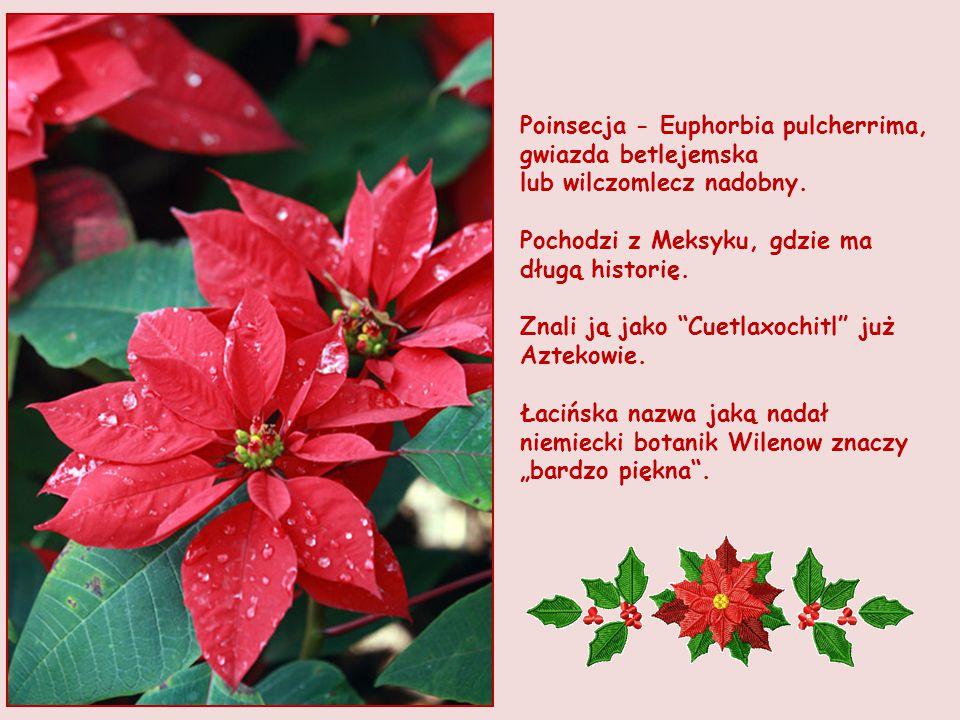 Poinsecja - Euphorbia pulcherrima, gwiazda betlejemska