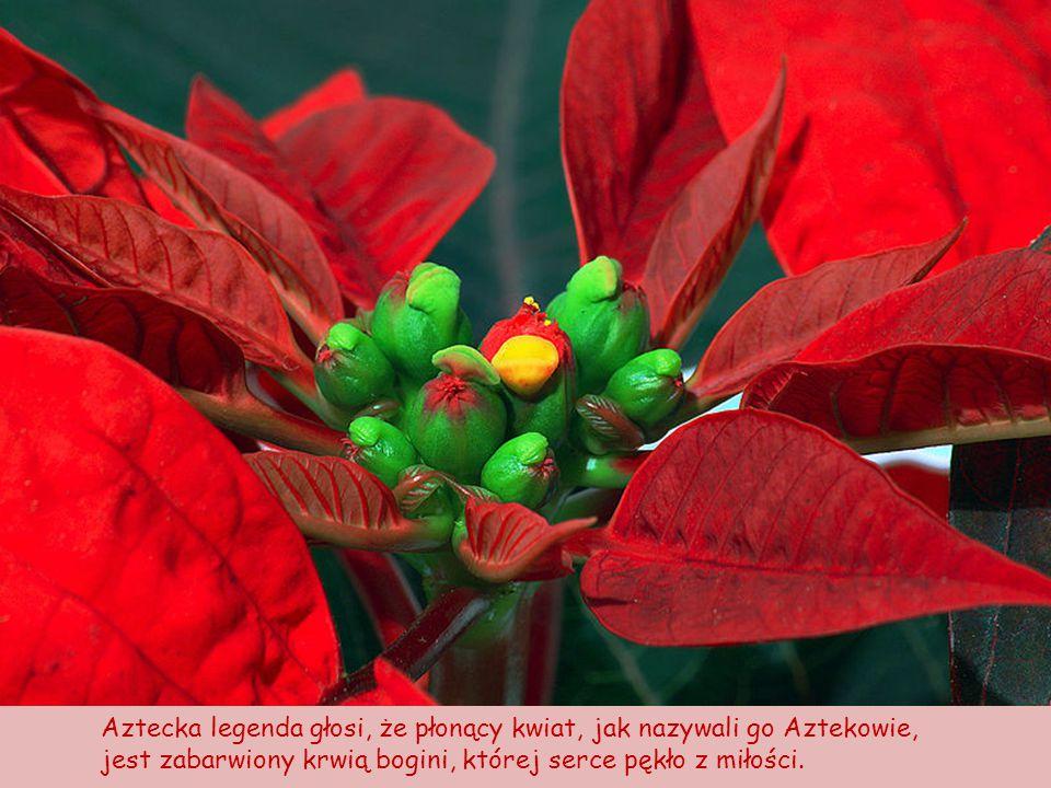Aztecka legenda głosi, że płonący kwiat, jak nazywali go Aztekowie,