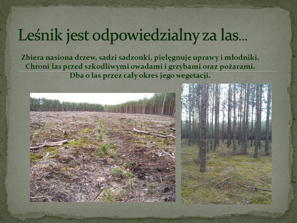 Leśnik jest odpowiedzialny za las…