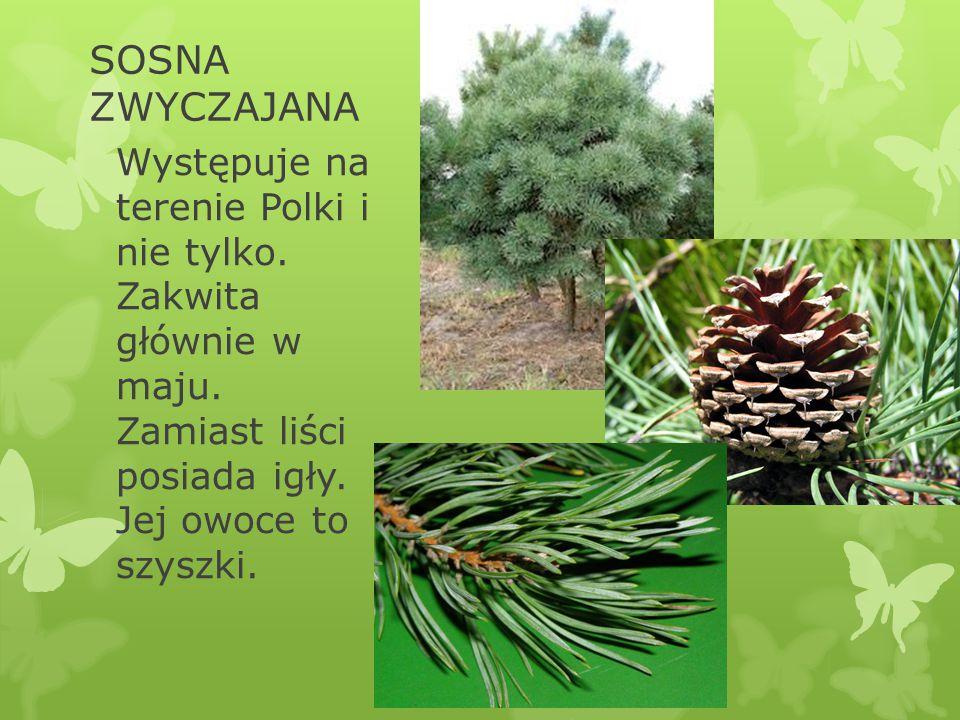 SOSNA ZWYCZAJANA Występuje na terenie Polki i nie tylko.