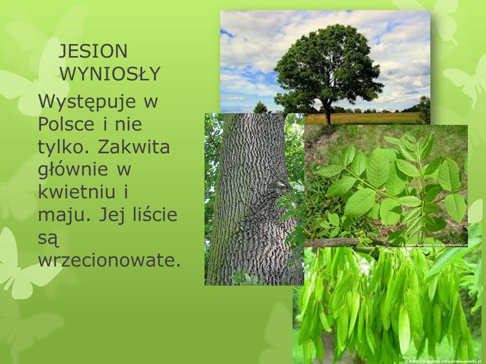 JESION WYNIOSŁY Występuje w Polsce i nie tylko. Zakwita głównie w kwietniu i maju.