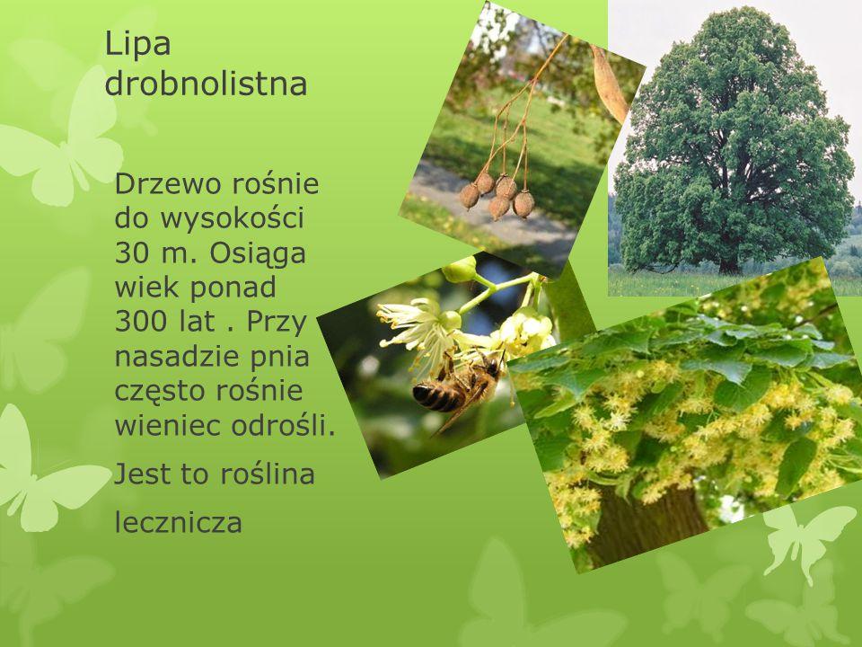Lipa drobnolistna Drzewo rośnie do wysokości 30 m. Osiąga wiek ponad 300 lat . Przy nasadzie pnia często rośnie wieniec odrośli.